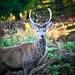 Bradgate Deer by carole_sandford
