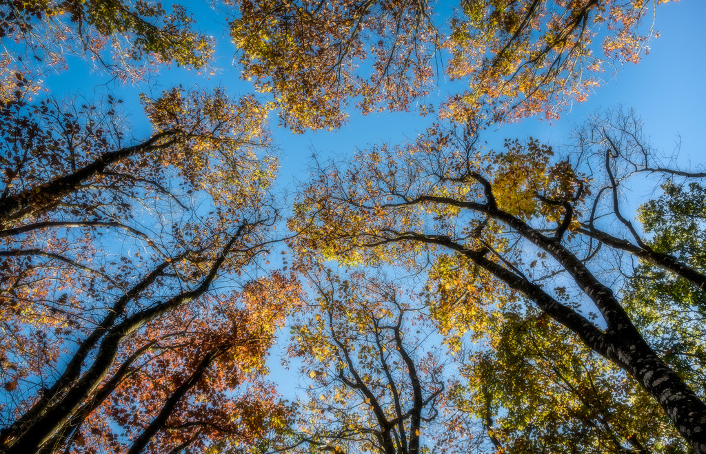 Golden Canopy... by vignouse