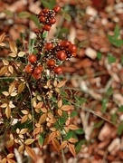 13th Nov 2017 - The Nandina that's all berries, no leaves