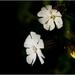 White Campion Still In Flower (best viewed on black)