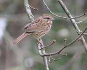 13th Nov 2017 - Song Sparrow