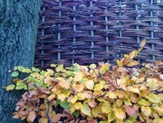 13th Nov 2017 - Barriers#trees, hedge, fence