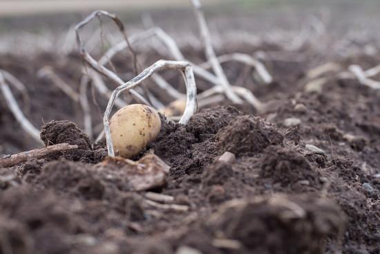 Potato field by callymazoo