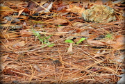 3rd Nov 2017 - Abstract pine straw