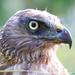 New Zealand Swamp Harrier Hawk