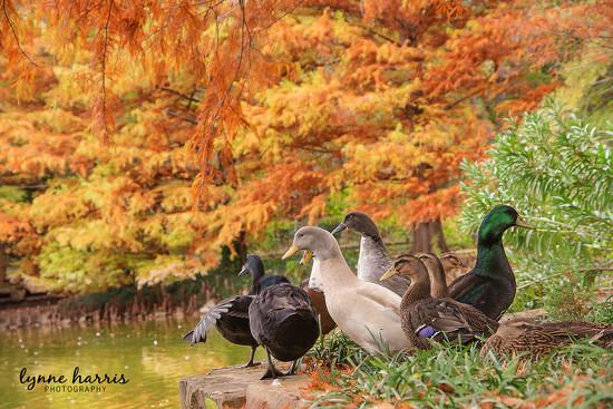 Ducks at Clark Gardens by lynne5477