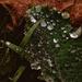 Raindrops - I Want Dewdrops