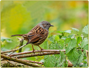 15th Nov 2017 - Dunnock