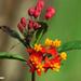 monarch bush