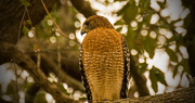 15th Nov 2017 - Red Shouldered Hawk!