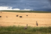 16th Nov 2017 - wild emus before the storm