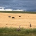 wild emus before the storm by pusspup