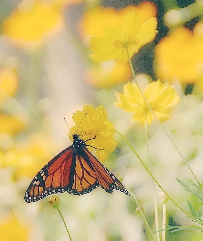 Texas Monarch by joysfocus