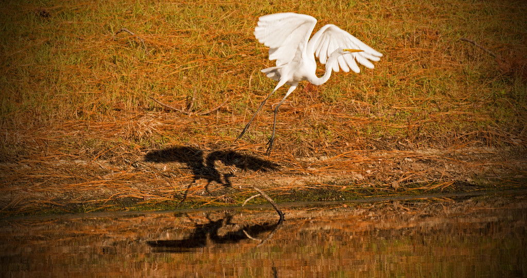 Egret, Shadow, Reflection! by rickster549