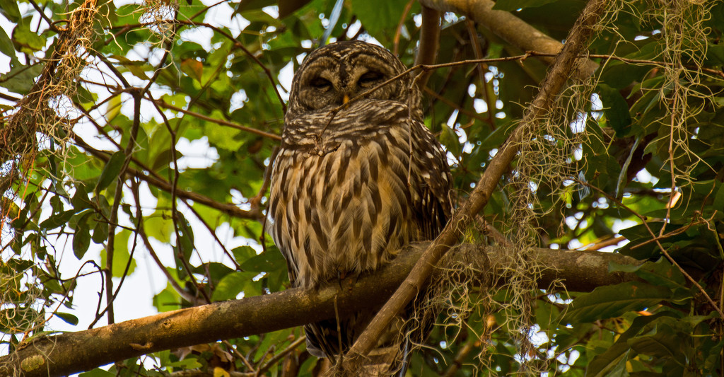 Sleepy Barred Owl! by rickster549