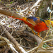 A male Golden Pheasant.......