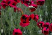 17th Nov 2017 - Flander's poppies