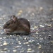 Vole? by dailydelight