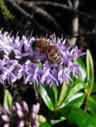 17th Nov 2017 - Bee on a Hebe bush?