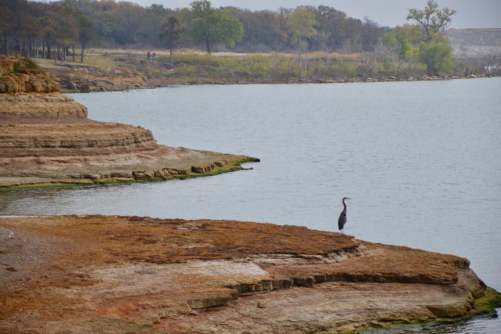 A Heron, not an Egret? by louannwarren