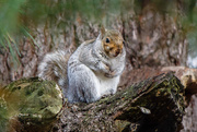 17th Nov 2017 - Fat Squirrel