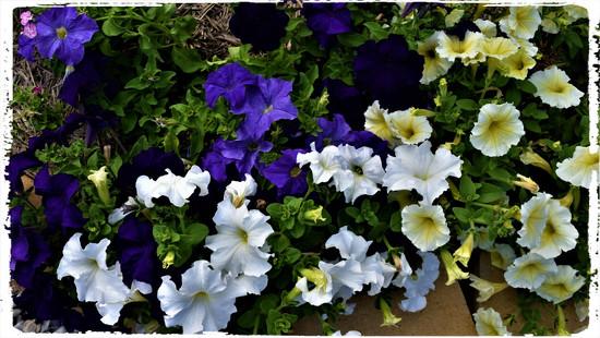 Petunias ~ by happysnaps