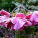 Frozen Roses .