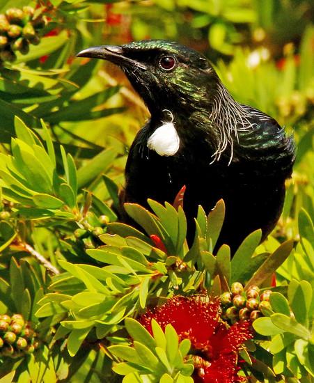 Tui feeding in a bottlebrush tree by maureenpp