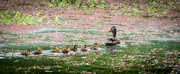 18th Nov 2017 - Mother Duck and the Seven Ducklings