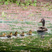 Mother Duck and the Seven Ducklings by yorkshirekiwi