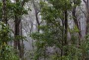 18th Nov 2017 - Misty rainforerst