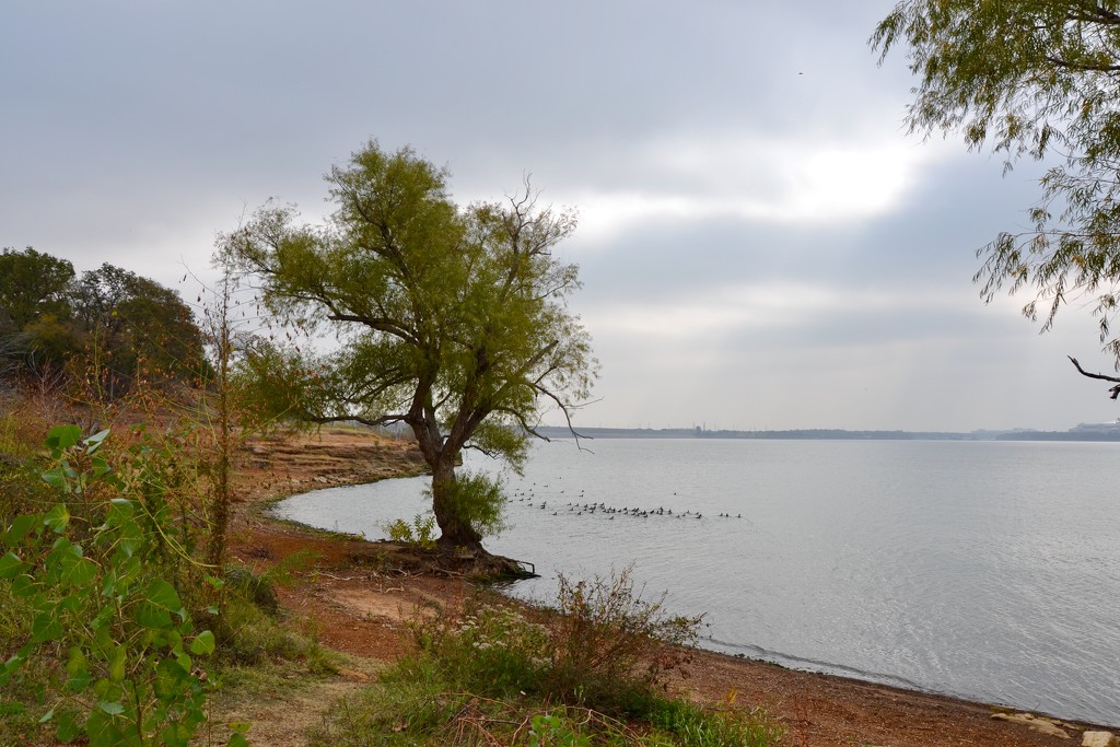 A Mesquite tree holding it's place on the lake shore by louannwarren