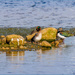 Teal And Lapwing