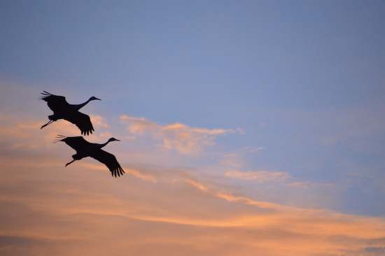 Sand Hill Cranes  by adelle13
