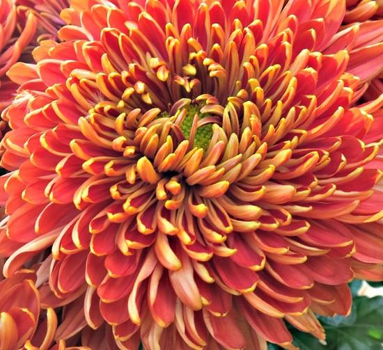 Bronze Chrysanthemum. by wendyfrost