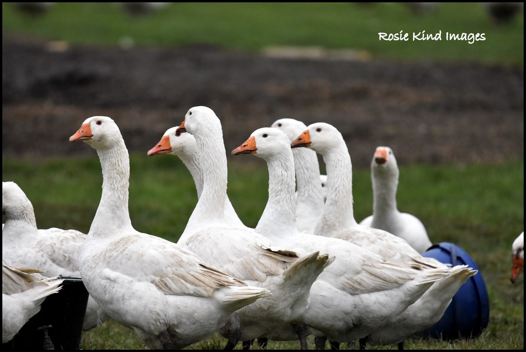 A gaggle of geese by rosiekind