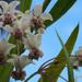 the other Milkweed