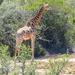 A Giraffe seen not too far from the road....
