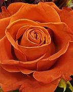 18th Nov 2017 - Rose Beauty