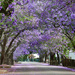 Jacaranda Avenue by onewing