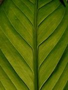 19th Nov 2017 - Lilly leaf