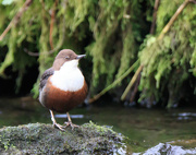 15th Nov 2017 - Dipper very close