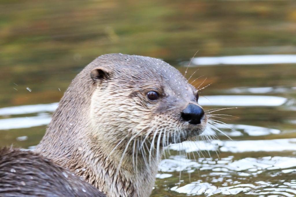 Otter at last by padlock