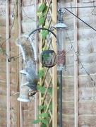 15th Nov 2017 - Acrobatic Squirrel