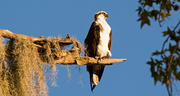 19th Nov 2017 - Osprey Taking in the View!
