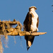 Osprey Taking in the View!
