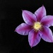 Clematis by maureenpp
