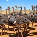 Female Ostriches......