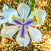 Indigenous Iris (Dietes)......
