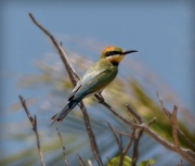 17th Nov 2017 - Rainbow Bee Eater